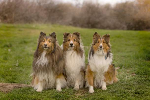 3 Shelties